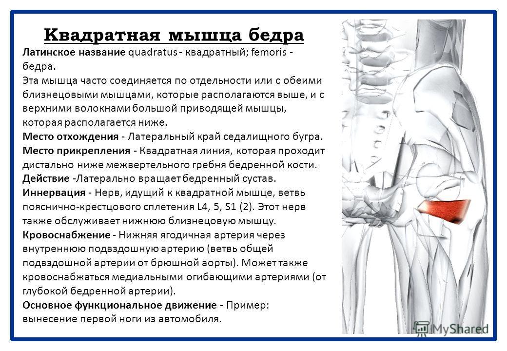 Наружная запирательная мышца бедра Латинское название obturator - затычка; extemus - наружный. Эта мышца часто относится к аддукторам бедра, но помещена в этот раздел по причине ее подобия и близости к другим коротким латеральным вращателям бедра. Ме