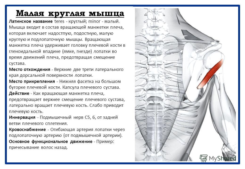 Подостная мышца Латинское название infra - ниже; spina - ость. Мышца входит в состав вращающей манжетки плеча, которая включает надостную, подостиую, малую круглую и подлопаточную мышцу. Вращающая манжетка плеча удерживает головку плечевой кости в гл