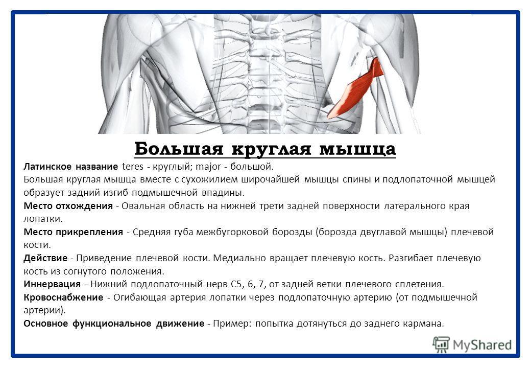 Подлопаточная мышца Латинское название sub - под; scapular - имеющий отношение к лопатке. Мышца входит в состав вращающей манжетки плеча, которая включает надостную, подостную, малую круглую и подлопаточную мышцы. Вращающая манжетка плеча удерживает