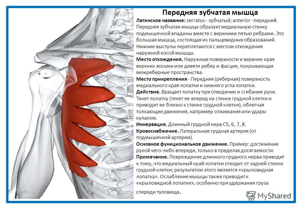 Подключичная мышца Латинское название: sub - под; clavis - ключица. Эта мышца располагается позади и скрывается ключицей и большой грудной мышцей. Паралич мышцы не приводит к каким-либо нарушениям. Место отхождения. Соединение первого ребра и первого