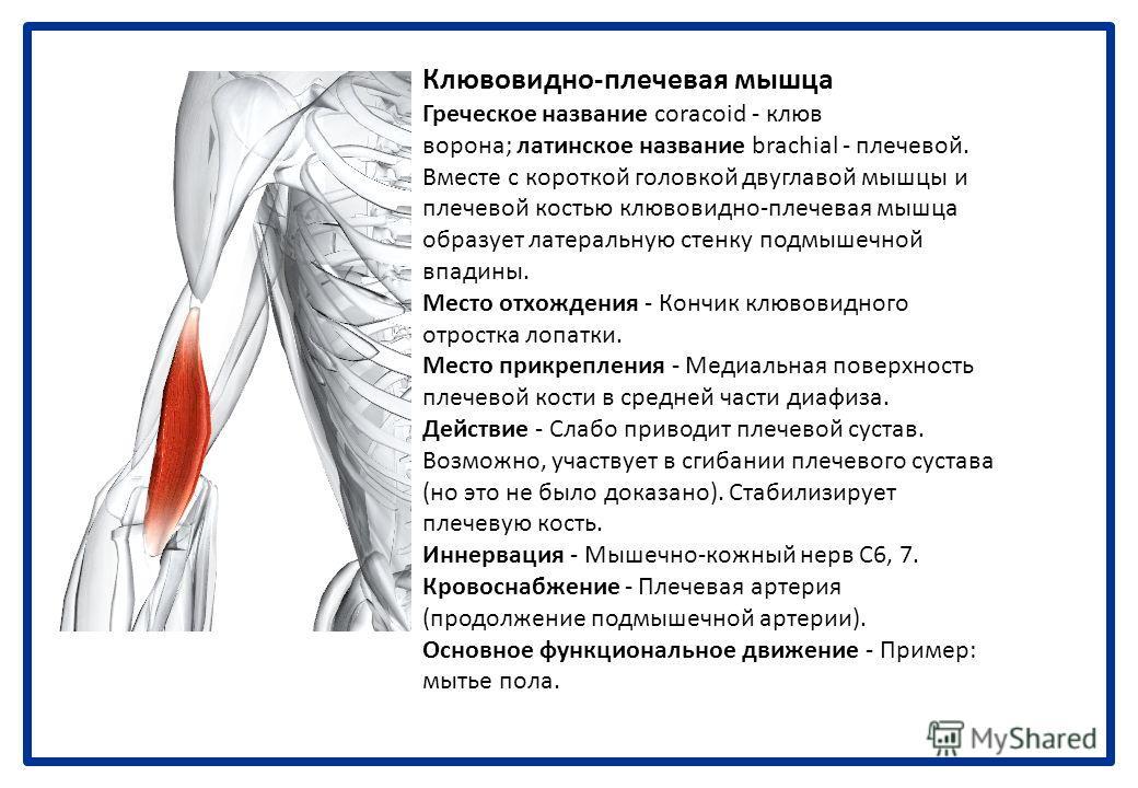 Двуглавая мышца Латинское название bieeps - двуглавая мышца; hrachii - плеча. Двуглавая мышца плеча управляет более чем тремя суставами. Она имеет две мышечные головки в месте отхождения и два сухожильных места прикрепления. Иногда она имеет третью г