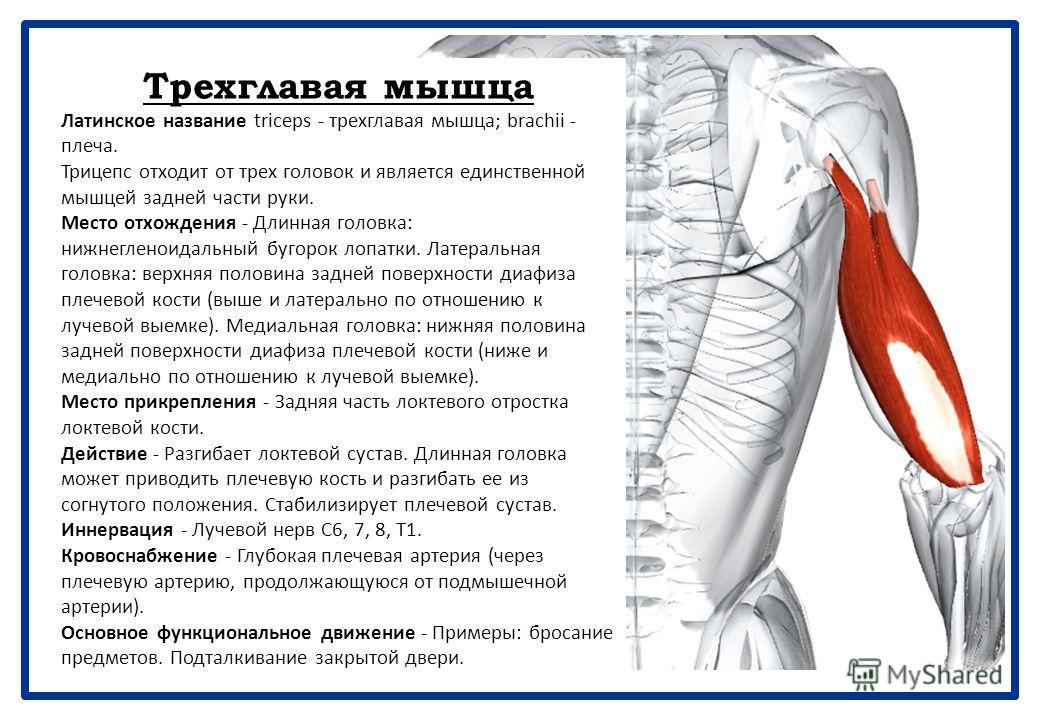 Клювовидно-плечевая мышца Греческое название сoraсoid - клюв ворона; латинское название brachial - плечевой. Вместе с короткой головкой двуглавой мышцы и плечевой костью клювовидно-плечевая мышца образует латеральную стенку подмышечной впадины. Место