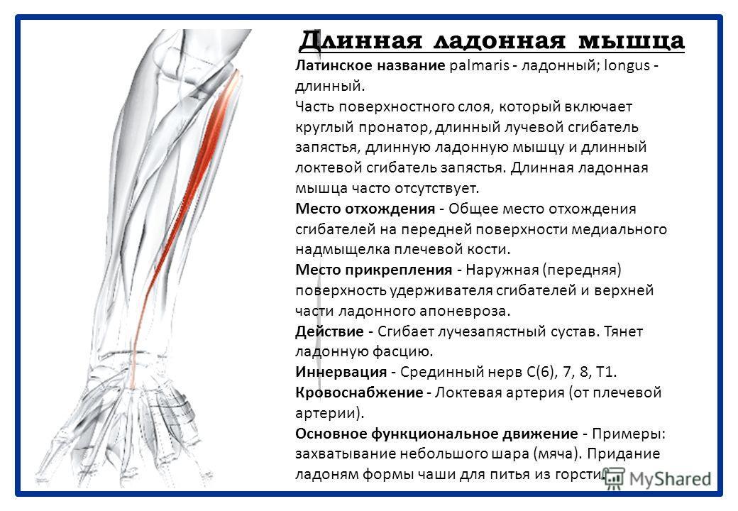 Лучевой сгибатель запястья Латинское название flex - сгибать; carpi - запястье; radius - лучевой. Часть поверхностного слоя, который включает круглый пронатор, длинный лучевой сгибатель запястья, длинную ладонную мышцу и длинный локтевой сгибатель за