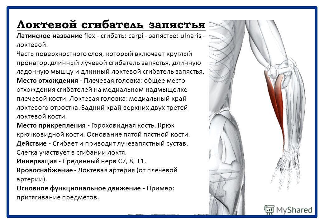 Длинная ладонная мышца Латинское название palmaris - ладонный; longus - длинный. Часть поверхностного слоя, который включает круглый пронатор, длинный лучевой сгибатель запястья, длинную ладонную мышцу и длинный локтевой сгибатель запястья. Длинная л