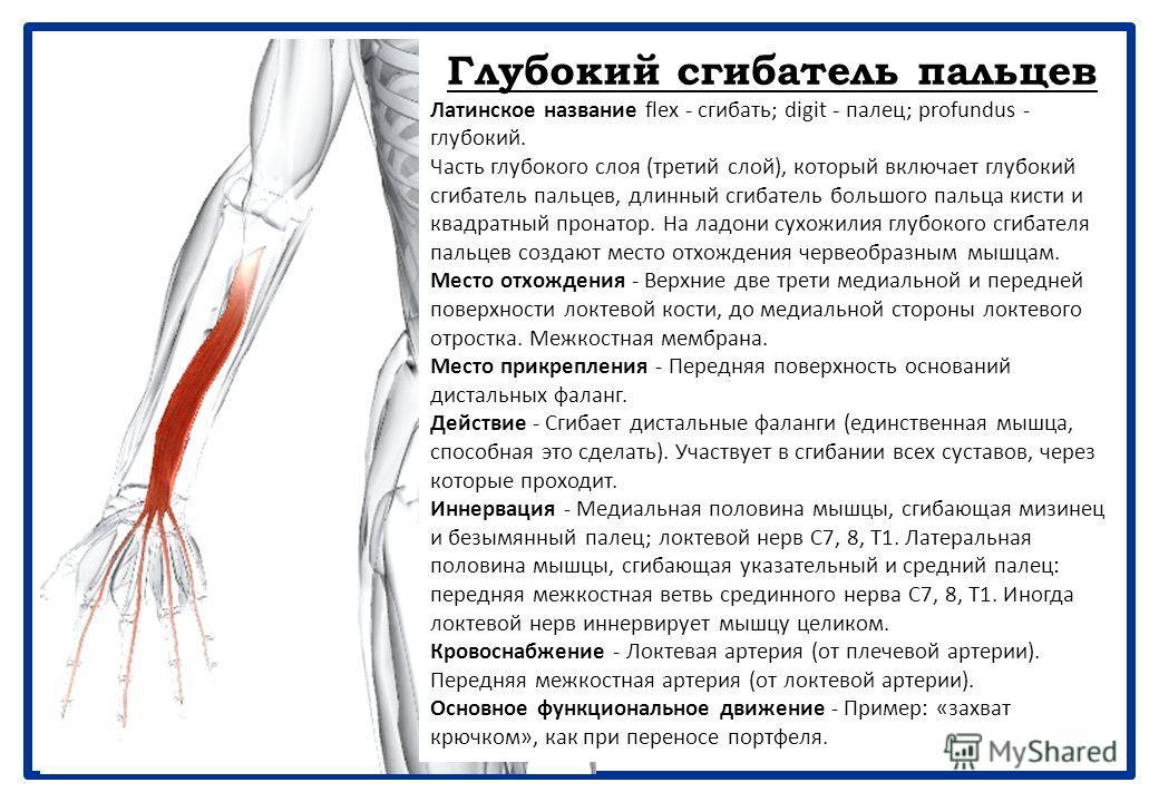 Поверхностный сгибатель пальцев Латинское название flex - сгибать; digit - палец; superficialis - поверхностный. Эта мышца одна составляет средний слой передней группы мышц предплечья. Место отхождения - Плечелоктевая головка: длинное линейное место