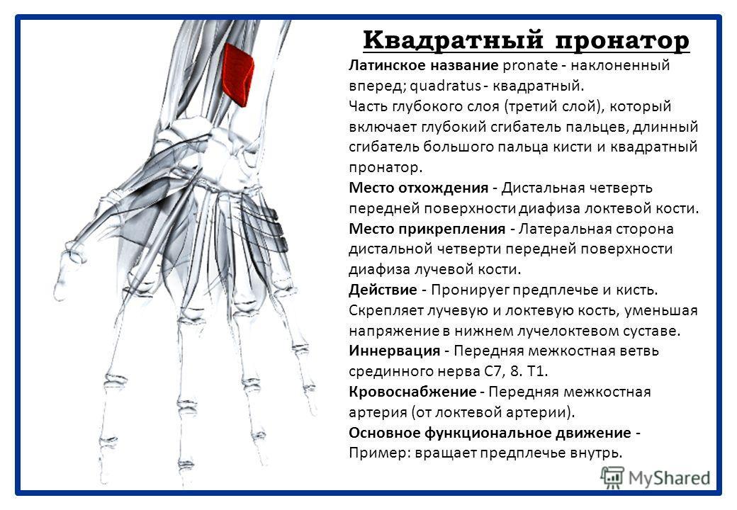 Длинный сгибатель большого пальца кисти Латинское название flex - сгибаться; pollicis -большой палец; longus - длинный. Часть глубокого слоя (третий слой), который включает глубокий сгибатель пальцев, длинный сгибатель большого пальца кисти и квадрат