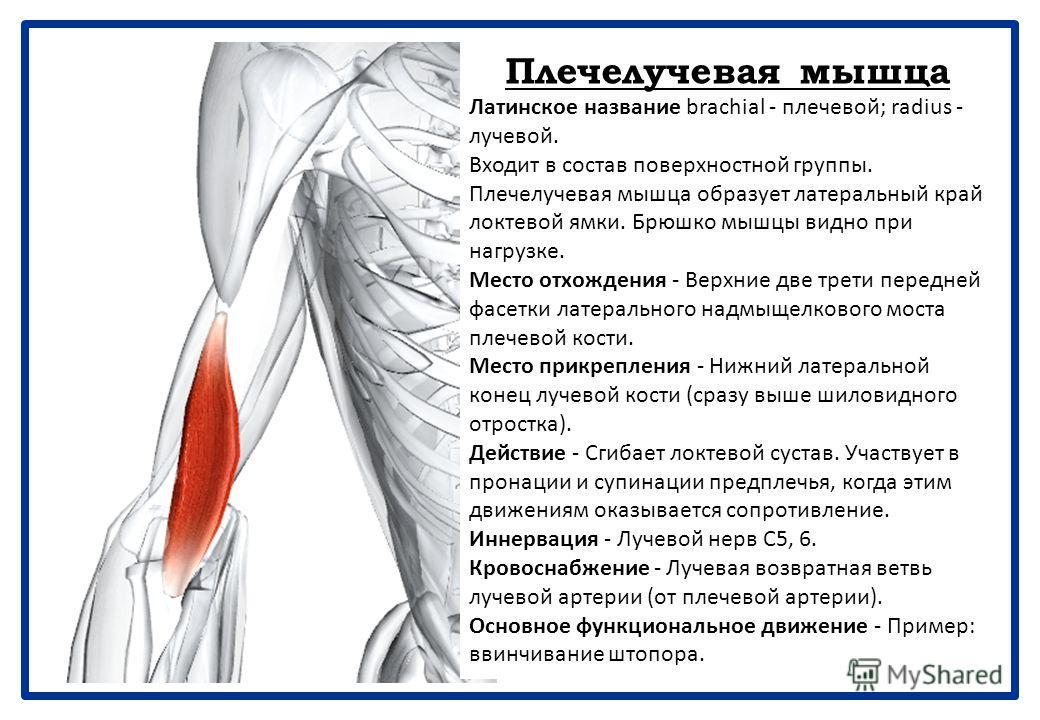 14. Задняя группа мышц предплечья