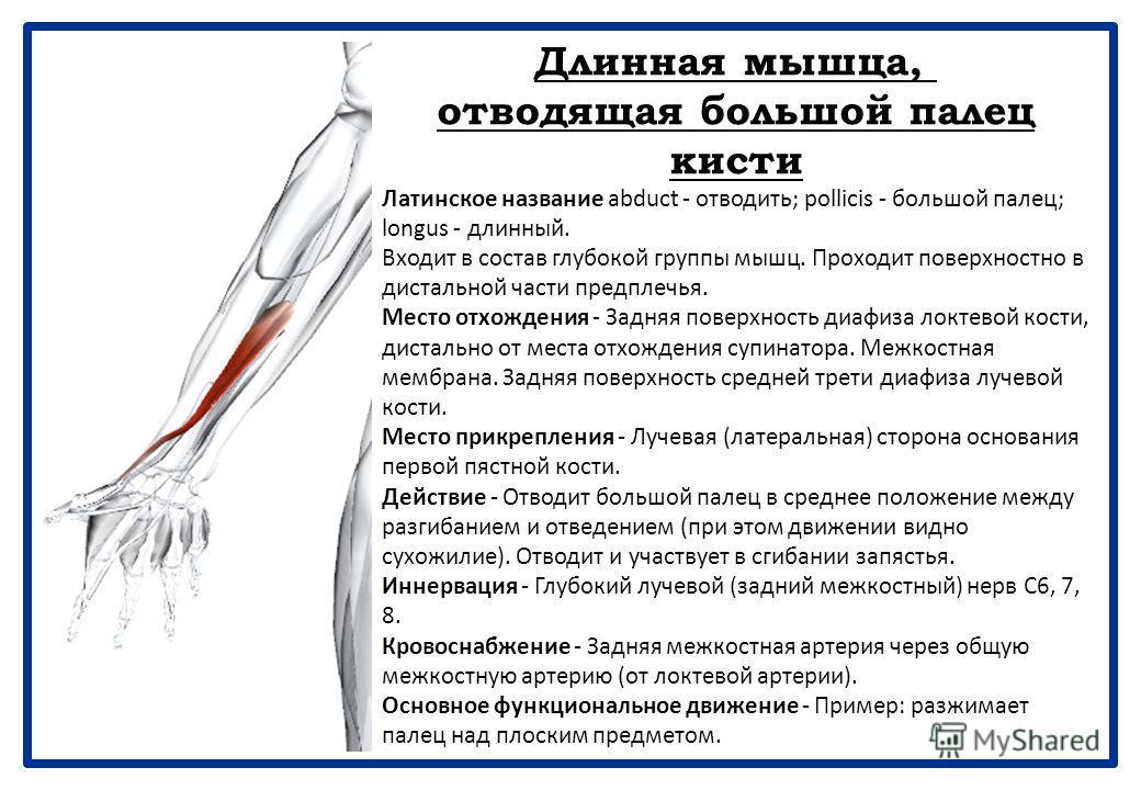 Супинатор Латинское название supinus - лежащий на задней части. Входит в состав глубокой группы мышц. Супинатор почти полностью скрыт поверхностными мышцами. Место отхождения - Латеральный надмыщелок плечевой кости. Лучевая коллатеральная (латеральна