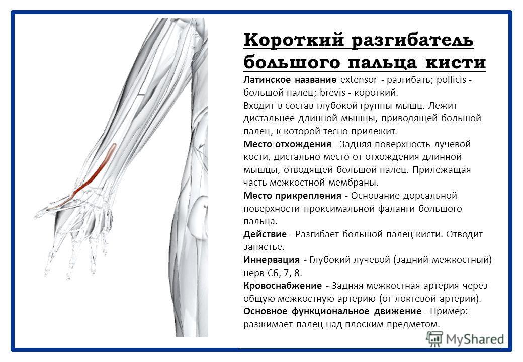 Длинная мышца, отводящая большой палец кисти Латинское название abduct - отводить; pollicis - большой палец; longus - длинный. Входит в состав глубокой группы мышц. Проходит поверхностно в дистальной части предплечья. Место отхождения - Задняя поверх