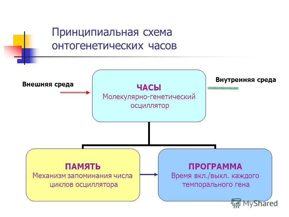 Принципиальная схема онтогенетических часов Внешняя среда Внутренняя среда