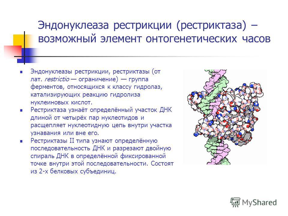 Эндонуклеаза рестрикции (рестриктаза) – возможный элемент онтогенетических часов Эндонуклеазы рестрикции, рестриктазы (от лат. restrictio ограничение) группа ферментов, относящихся к классу гидролаз, катализирующих реакцию гидролиза нуклеиновых кисло