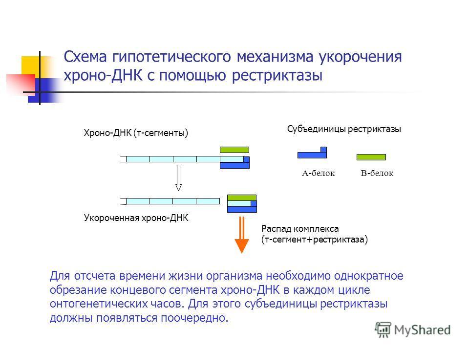 Схема гипотетического механизма укорочения хроно-ДНК с помощью рестриктазы Хроно-ДНК (τ-сегменты) Субъединицы рестриктазы Распад комплекса (τ-сегмент+рестриктаза) Укороченная хроно-ДНК Для отсчета времени жизни организма необходимо однократное обреза