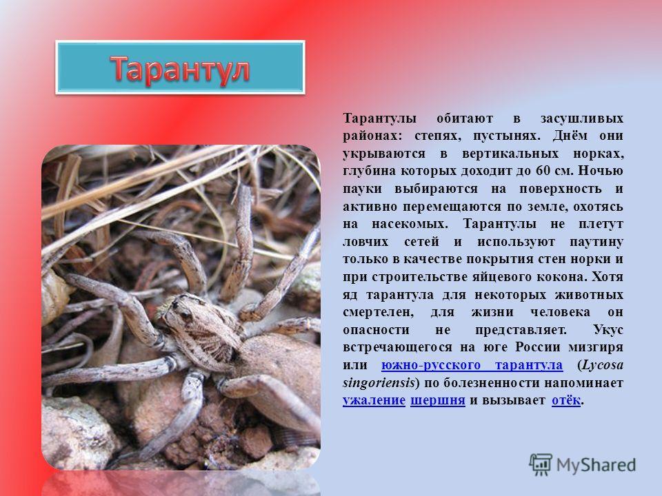 Тарантулы обитают в засушливых районах: степях, пустынях. Днём они укрываются в вертикальных норках, глубина которых доходит до 60 см. Ночью пауки выбираются на поверхность и активно перемещаются по земле, охотясь на насекомых. Тарантулы не плетут ло