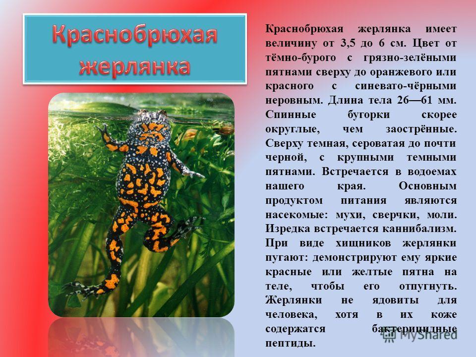 Краснобрюхая жерлянка имеет величину от 3,5 до 6 см. Цвет от тёмно-бурого с грязно-зелёными пятнами сверху до оранжевого или красного с синевато-чёрными неровным. Длина тела 2661 мм. Спинные бугорки скорее округлые, чем заострённые. Сверху темная, се