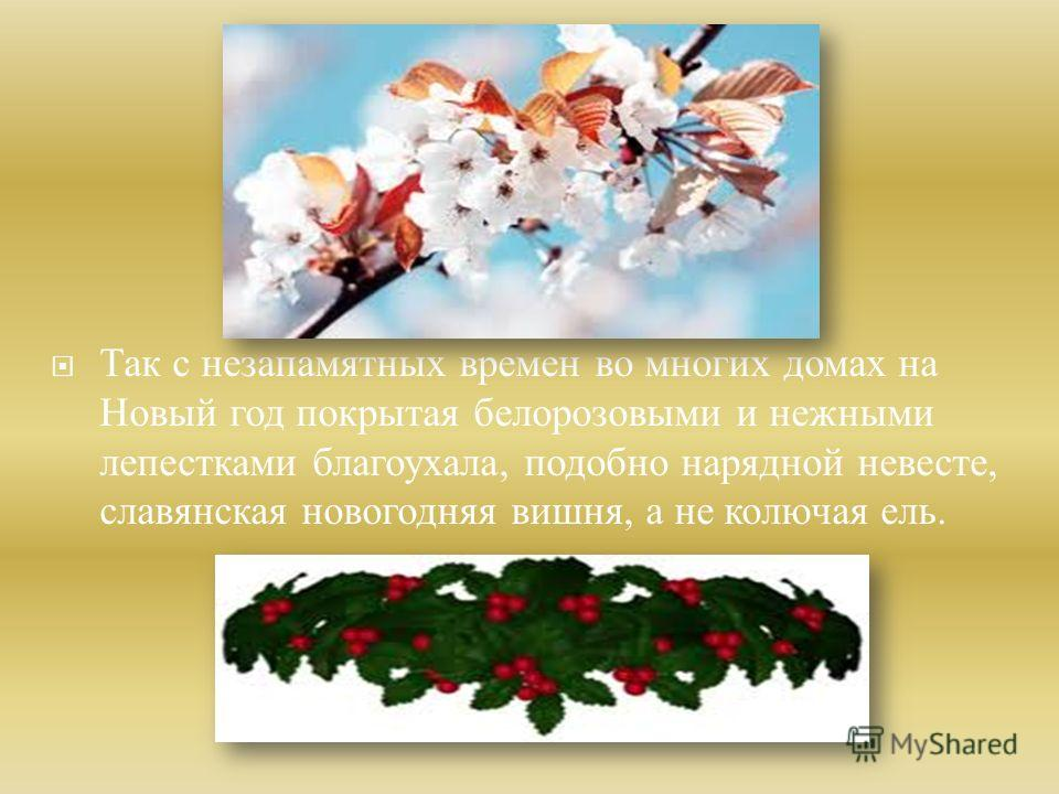 Так с незапамятных времен во многих домах на Новый год покрытая бело розовыми и нежными лепестками благоухала, подобно нарядной невесте, славянская новогодняя вишня, а не колючая ель.