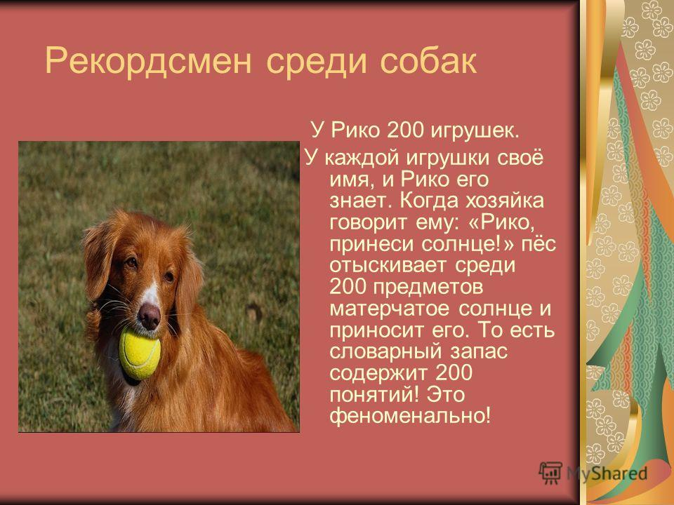 Рекордсмен среди собак У Рико 200 игрушек. У каждой игрушки своё имя, и Рико его знает. Когда хозяйка говорит ему: «Рико, принеси солнце!» пёс отыскивает среди 200 предметов матерчатое солнце и приносит его. То есть словарный запас содержит 200 понят