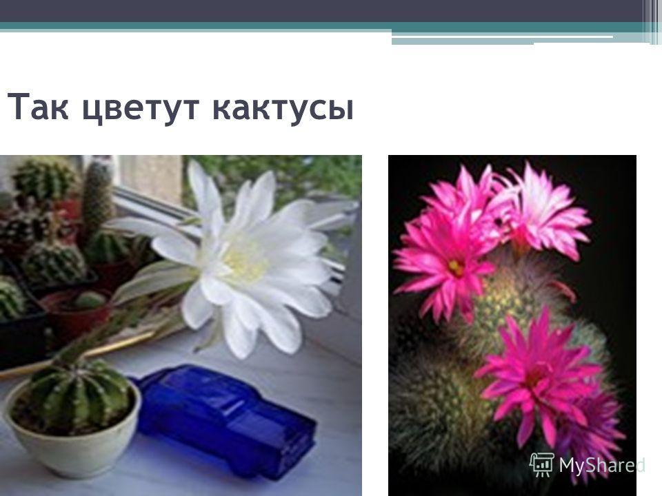 Так цветут кактусы