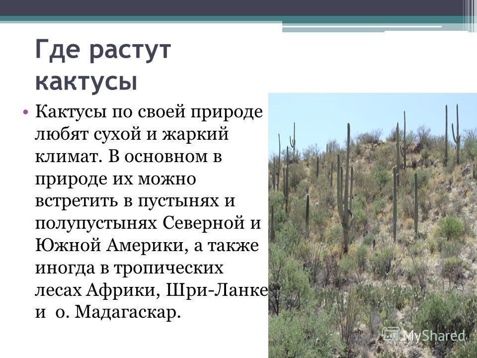 Где растут кактусы Кактусы по своей природе любят сухой и жаркий климат. В основном в природе их можно встретить в пустынях и полупустынях Северной и Южной Америки, а также иногда в тропических лесах Африки, Шри-Ланке и о. Мадагаскар.