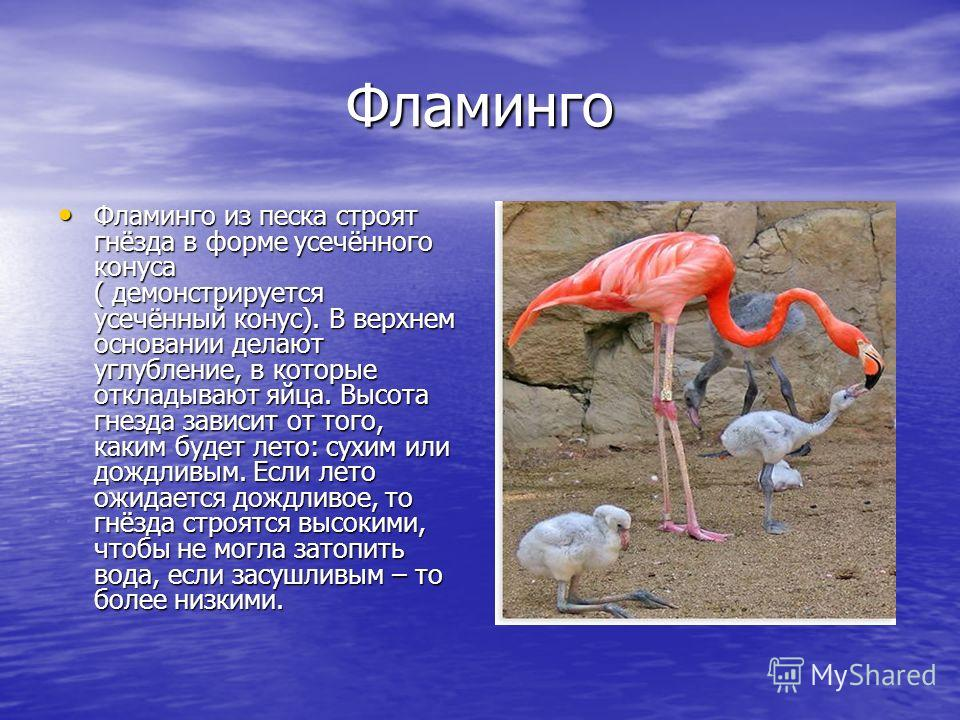 Фламинго Фламинго из песка строят гнёзда в форме усечённого конуса ( демонстрируется усечённый конус). В верхнем основании делают углубление, в которые откладывают яйца. Высота гнезда зависит от того, каким будет лето: сухим или дождливым. Если лето