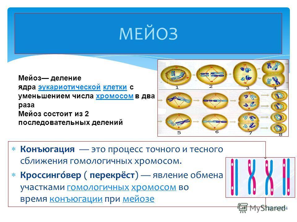 Конъюгация это процесс точного и тесного сближения гомологичных хромосом. Кроссинго́вер ( перекрёст) явление обмена участками гомологичных хромосом во время конъюгации при мейозегомологичныххромосомконъюгациимейозе МЕЙОЗ 28.10.2014 Мейоз деление ядра