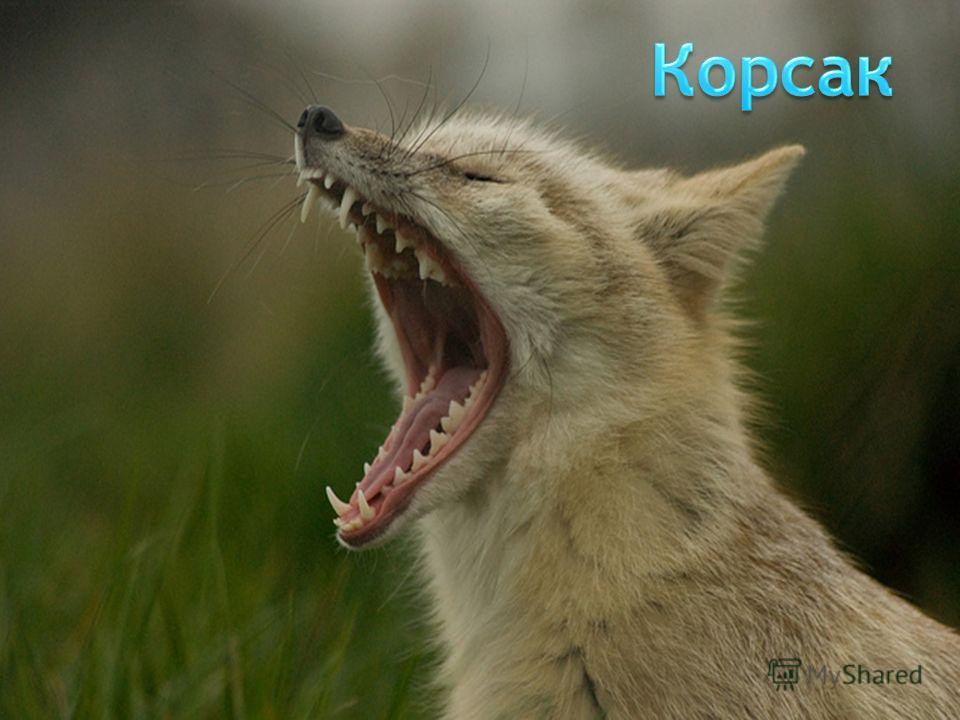 Корсак, или степная лисица. Это животное является хищником из рода лисиц. Корсак похож на обыкновенную рыжую лисицу. Однако его тельце несколько мельче (длина достигает 60 см), длина хвоста - 35 см. Высота в холке не превышает 30 см, а вес колеблется