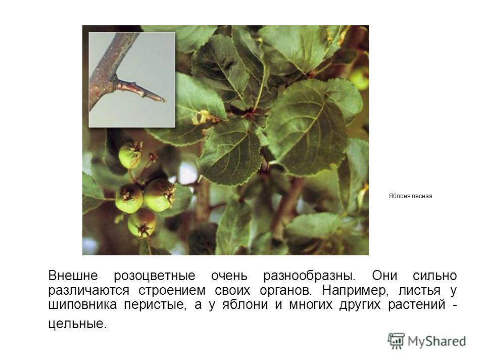 Внешне розоцветные очень разнообразны. Они сильно различаются строением своих органов. Например, листья у шиповника перистые, а у яблони и многих других растений - цельные. Яблоня лесная