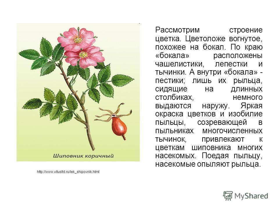 Рассмотрим строение цветка. Цветоложе вогнутое, похожее на бокал. По краю «бокала» расположены чашелистики, лепестки и тычинки. А внутри «бокала» - пестики; лишь их рыльца, сидящие на длинных столбиках, немного выдаются наружу. Яркая окраска цветков