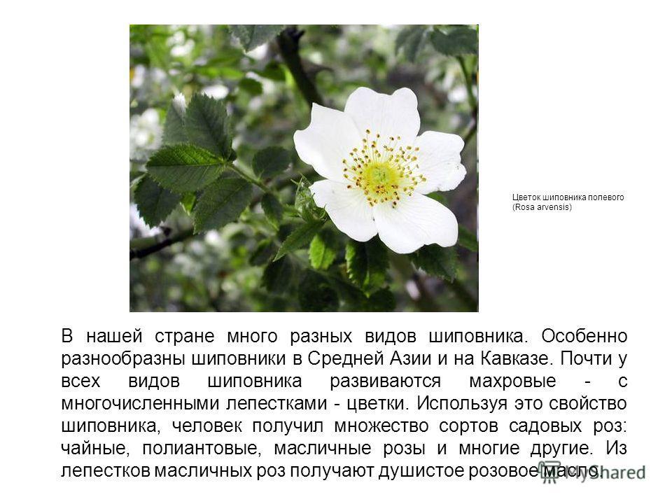В нашей стране много разных видов шиповника. Особенно разнообразны шиповники в Средней Азии и на Кавказе. Почти у всех видов шиповника развиваются махровые - с многочисленными лепестками - цветки. Используя это свойство шиповника, человек получил мно
