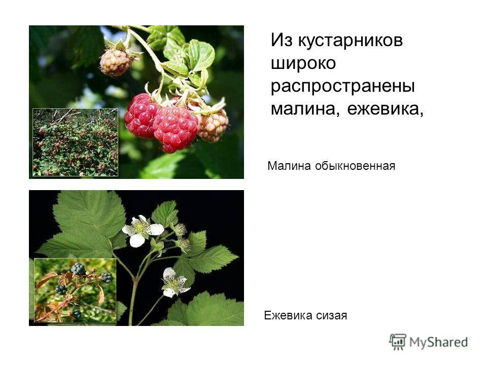 Из кустарников широко распространены малина, ежевика, Малина обыкновенная Ежевика сизая