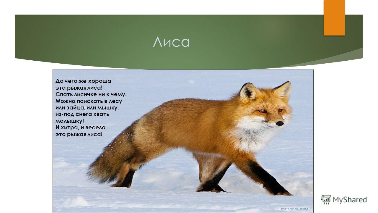 Лиса До чего же хороша эта рыжая лиса! Спать лисичке ни к чему. Можно поискать в лесу или зайца, или мышку, из-под снега хвать малышку! И хитра, и весела эта рыжая лиса!