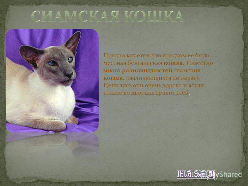 Предполагается, что предком ее была местная бенгальская кошка. Известно много разновидностей сиамских кошек, различающихся по окрасу. Ценились они очень дорого и жили только во дворцах правителей.
