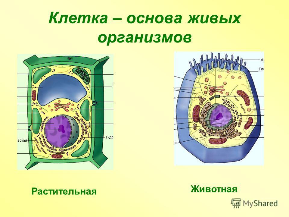 Клетка – основа живых организмов Растительная Животная