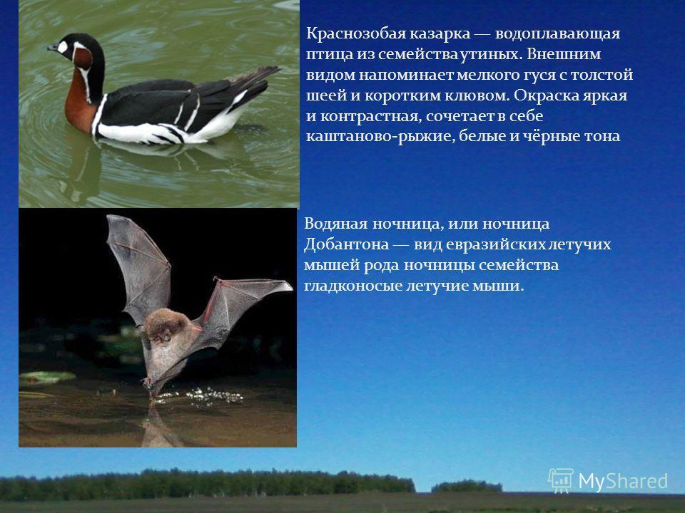 Краснозобая казарка водоплавающая птица из семейства утиных. Внешним видом напоминает мелкого гуся с толстой шеей и коротким клювом. Окраска яркая и контрастная, сочетает в себе каштаново - рыжие, белые и чёрные тона Водяная ночница, или ночница Доба