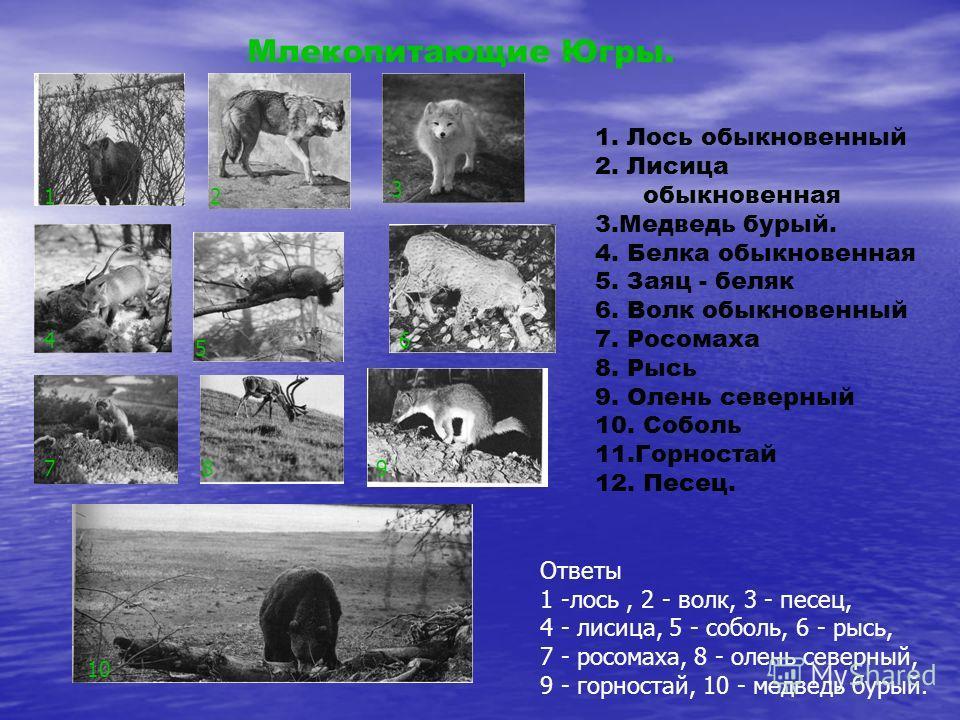 Млекопитающие Югры. 1. Лось обыкновенный 2. Лисица обыкновенная 3. Медведь бурый. 4. Белка обыкновенная 5. Заяц - беляк 6. Волк обыкновенный 7. Росомаха 8. Рысь 9. Олень северный 10. Соболь 11. Горностай 12. Песец. 12 3 4 5 6 789 10 Ответы 1 -лось, 2