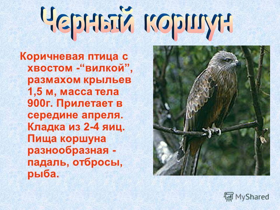 Коричневая птица с хвостом -вилкой, размахом крыльев 1,5 м, масса тела 900 г. Прилетает в середине апреля. Кладка из 2-4 яиц. Пища коршуна разнообразная - падаль, отбросы, рыба.