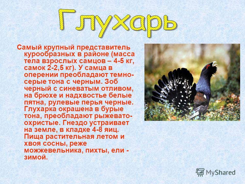 Самый крупный представитель курообразных в районе (масса тела взрослых самцов – 4-5 кг, самок 2-2,5 кг). У самца в оперении преобладают темно- серые тона с черным. Зоб черный с синеватым отливом, на брюхе и надхвостье белые пятна, рулевые перья черны