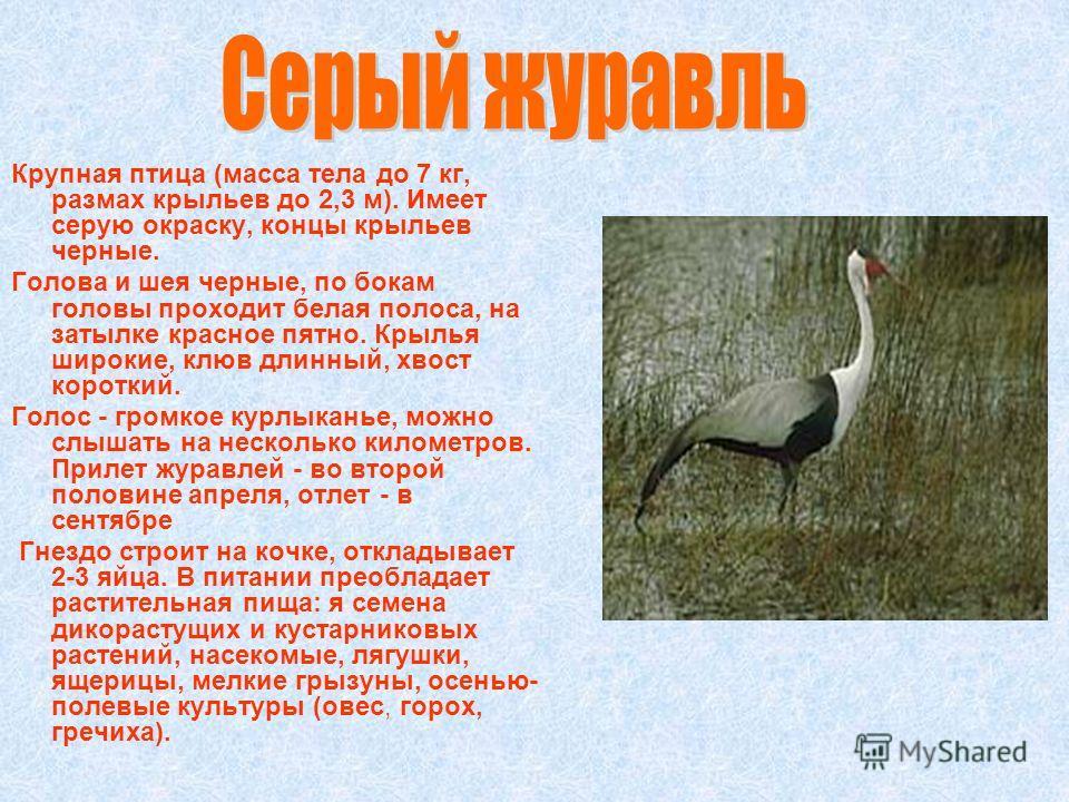 Крупная птица (масса тела до 7 кг, размах крыльев до 2,3 м). Имеет серую окраску, концы крыльев черные. Голова и шея черные, по бокам головы проходит белая полоса, на затылке красное пятно. Крылья широкие, клюв длинный, хвост короткий. Голос - громко