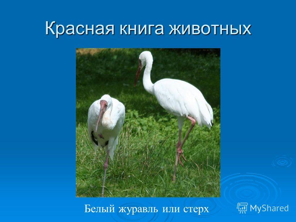 Красная книга животных Белый журавль или стерх