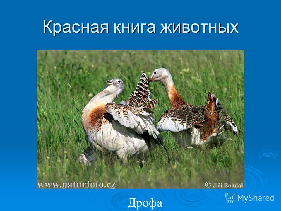 Красная книга животных Дрофа