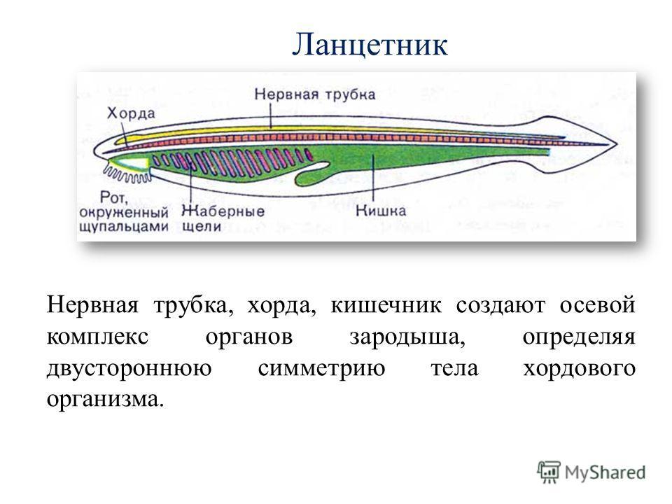 Ланцетник Нервная трубка, хорда, кишечник создают осевой комплекс органов зародыша, определяя двустороннюю симметрию тела хордового организма.