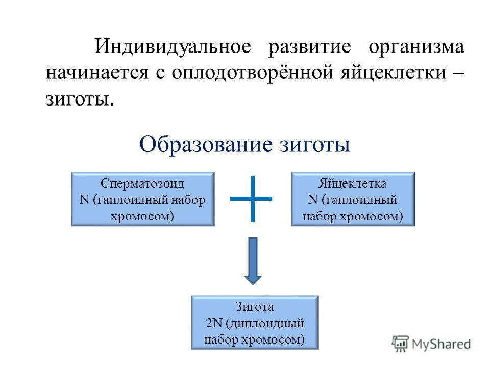 Индивидуальное развитие организма начинается с оплодотворённой яйцеклетки – зиготы. Образование зиготы Сперматозоид N (гаплоидный набор хромосом) Яйцеклетка N (гаплоидный набор хромосом) Зигота 2N (диплоидный набор хромосом)