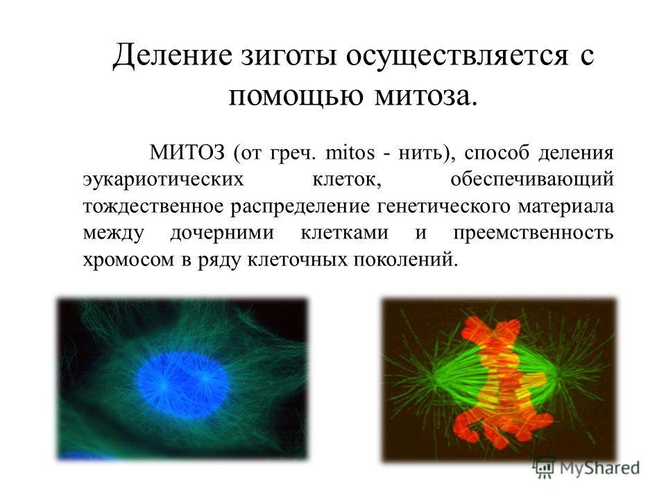 Деление зиготы осуществляется с помощью митоза. МИТОЗ (от греч. mitos - нить), способ деления эукариотических клеток, обеспечивающий тождественное распределение генетического материала между дочерними клетками и преемственность хромосом в ряду клеточ