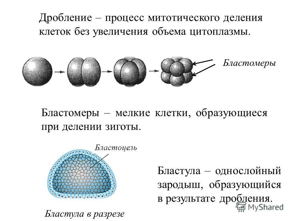 Дробление – процесс митотического деления клеток без увеличения объема цитоплазмы. Бластомеры – мелкие клетки, образующиеся при делении зиготы. Бластула – однослойный зародыш, образующийся в результате дробления. Бластомеры Бластула в разрезе Бластоц