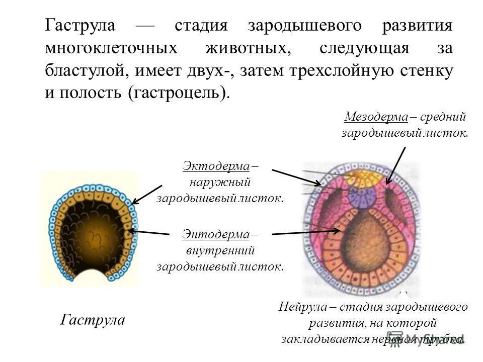 Гаструла стадия зародышевого развития многоклеточных животных, следующая за бластулой, имеет двух-, затем трехслойную стенку и полость (гастроцель). Эктодерма – наружный зародышевый листок. Энтодерма – внутренний зародышевый листок. Гаструла Мезодерм