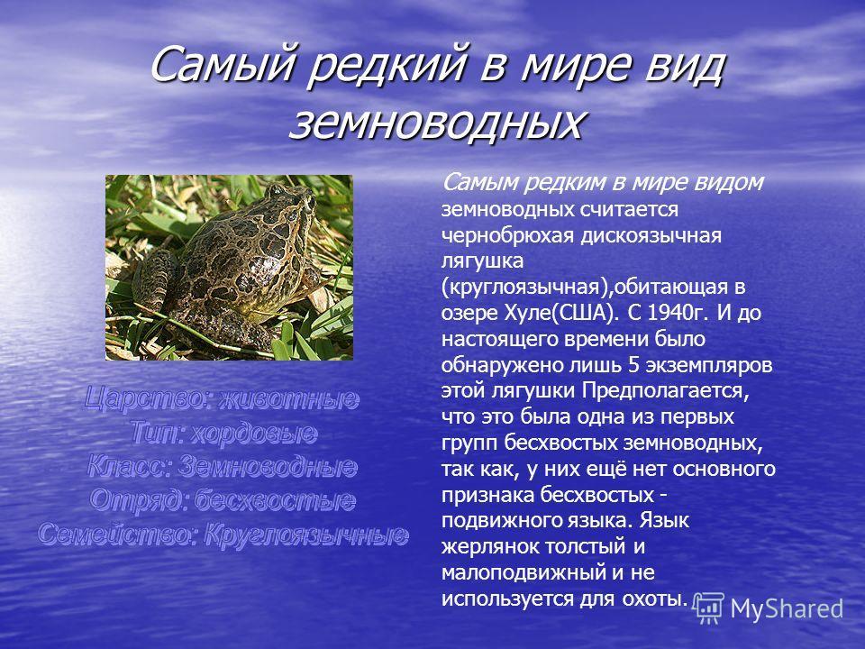 Самый редкий в мире вид земноводных Самым редким в мире видом земноводных считается чернобрюхая дискоязычная лягушка (круглоязычная),обитающая в озере Хуле(США). С 1940 г. И до настоящего времени было обнаружено лишь 5 экземпляров этой лягушки Предпо