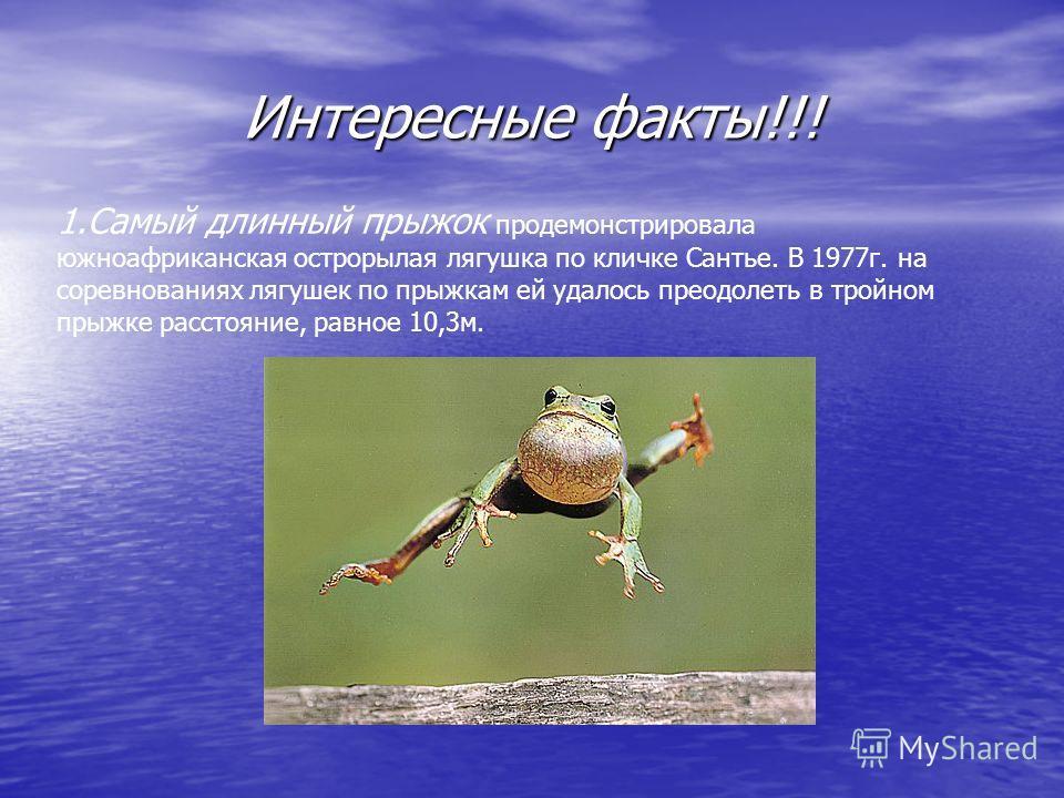 Интересные факты!!! 1. Самый длинный прыжок продемонстрировала южноафриканская острорылая лягушка по кличке Сантье. В 1977 г. на соревнованиях лягушек по прыжкам ей удалось преодолеть в тройном прыжке расстояние, равное 10,3 м.