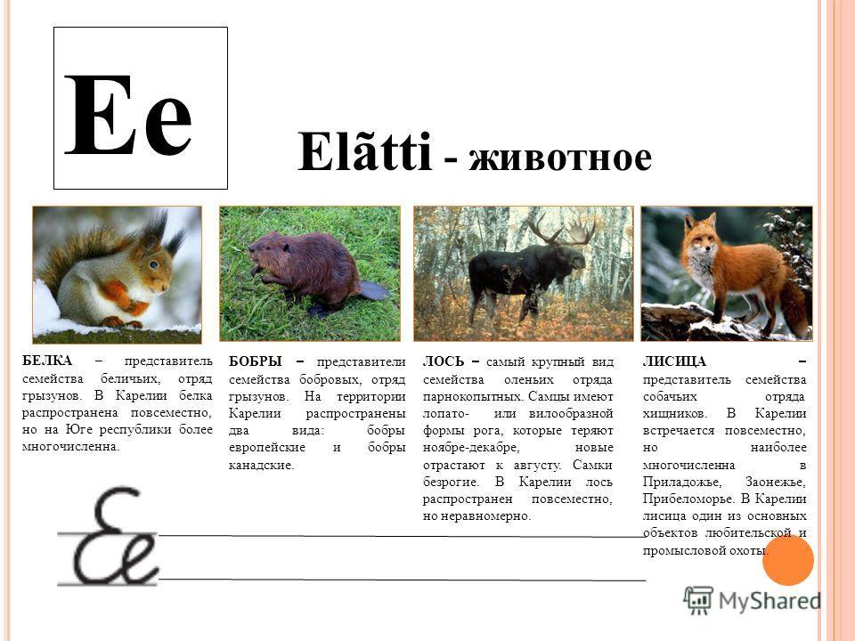 Ee Elãtti - животное БЕЛКА – представитель семейства беличьих, отряд грызунов. В Карелии белка распространена повсеместно, но на Юге республики более многочисленна. БОБРЫ – представители семейства бобровых, отряд грызунов. На территории Карелии распр