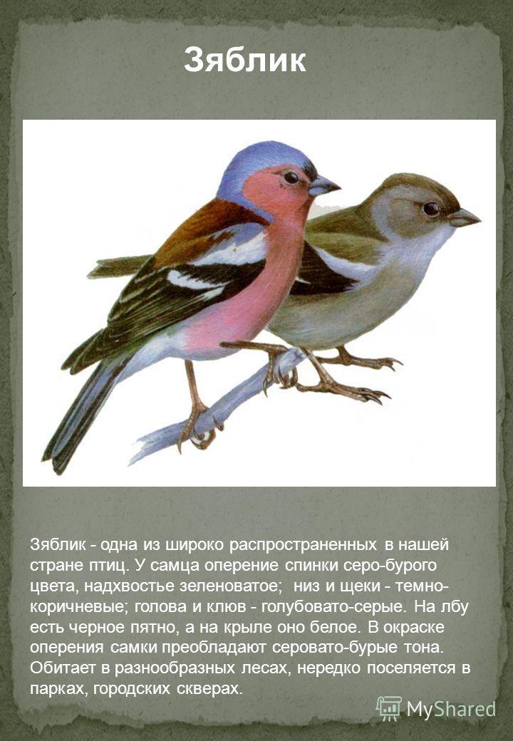 Зяблик - одна из широко распространенных в нашей стране птиц. У самца оперение спинки серо-бурого цвета, надхвостье зеленоватое; низ и щеки - темно- коричневые; голова и клюв - голубовато-серые. На лбу есть черное пятно, а на крыле оно белое. В окрас