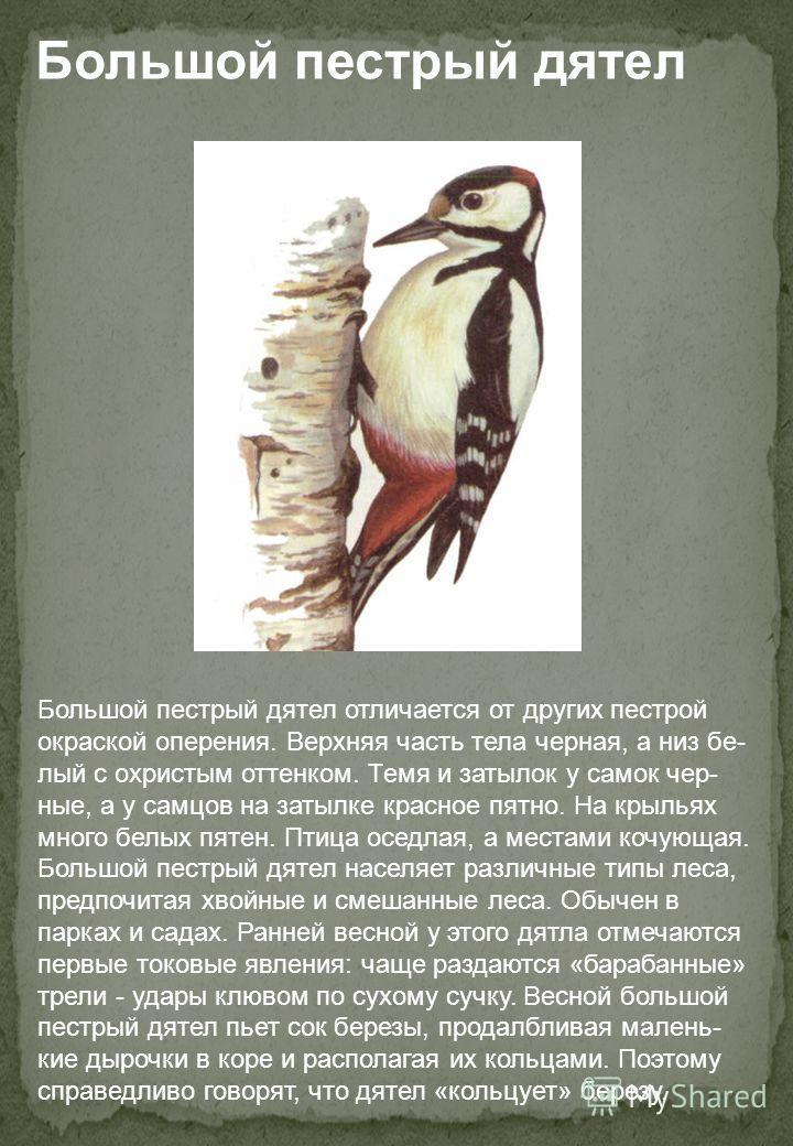 Большой пестрый дятел Большой пестрый дятел отличается от других пестрой окраской оперения. Верхняя часть тела черная, а низ белый с охристым оттенком. Темя и затылок у самок черные, а у самцов на затылке красное пятно. На крыльях много белых пятен.