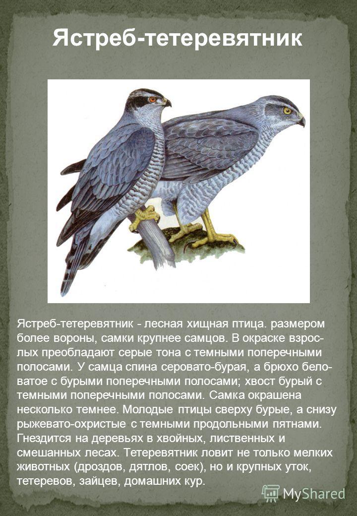 Ястреб-тетеревятник - лесная хищная птица. размером более вороны, самки крупнее самцов. В окраске взрос- лых преобладают серые тона с темными поперечными полосами. У самца спина серовато-бурая, а брюхо бело- ватое с бурыми поперечными полосами; хвост